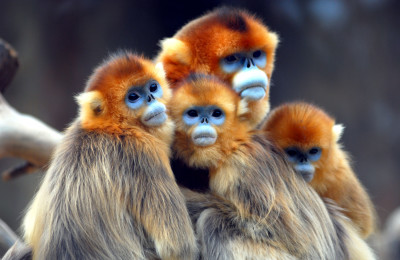 Rwanda Safari Golden Monkeys