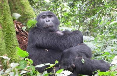 Gorillas Safaris Rwanda