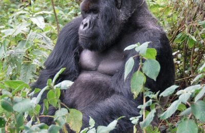 Rwanda Gorilla Safaris Package